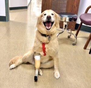 Golden Retriever with prosthetic leg, sitting